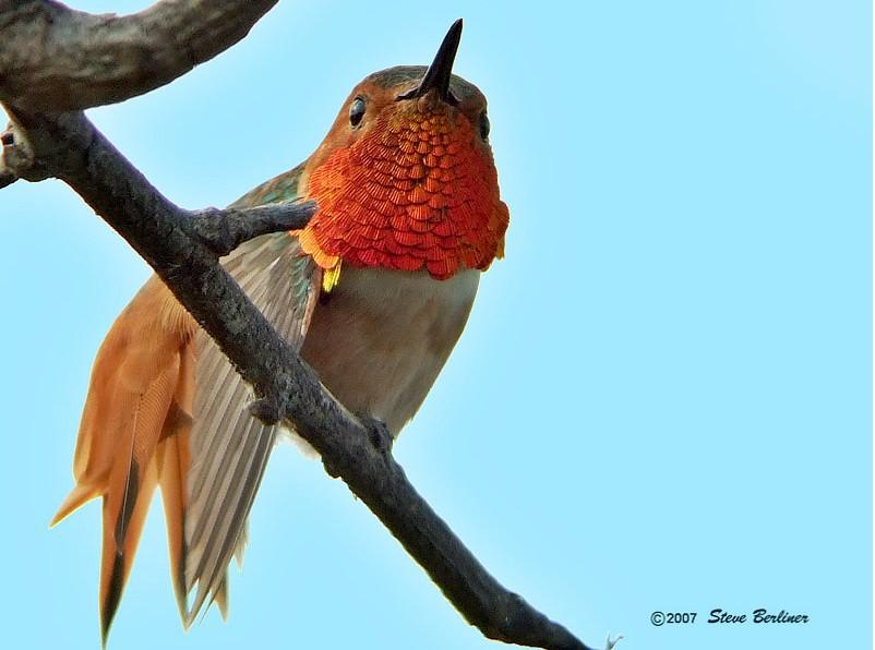 Allens_hummingbird_2