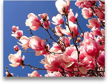 Magnolia_blossoms